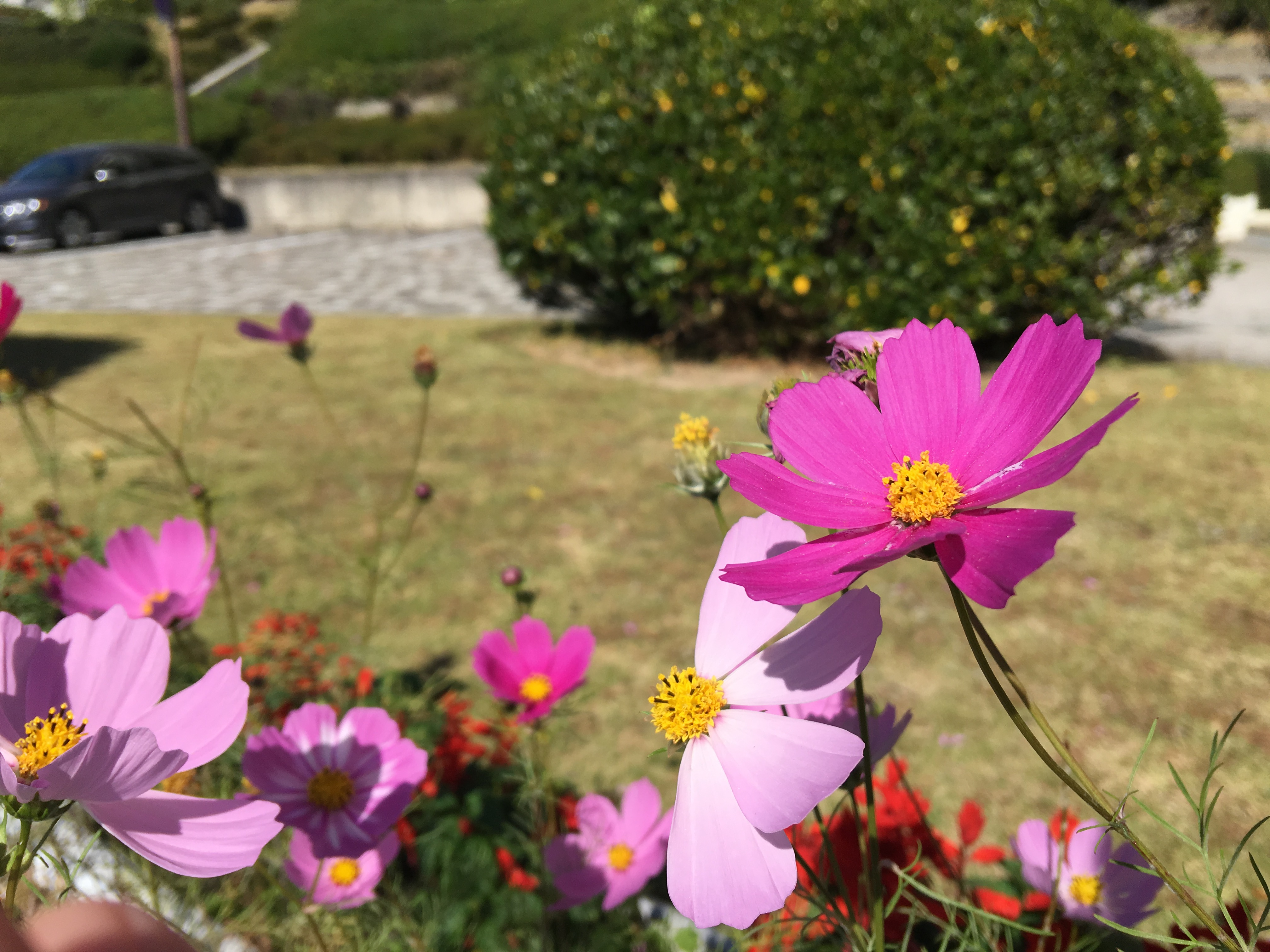 Cosmos, the official flower of Suma